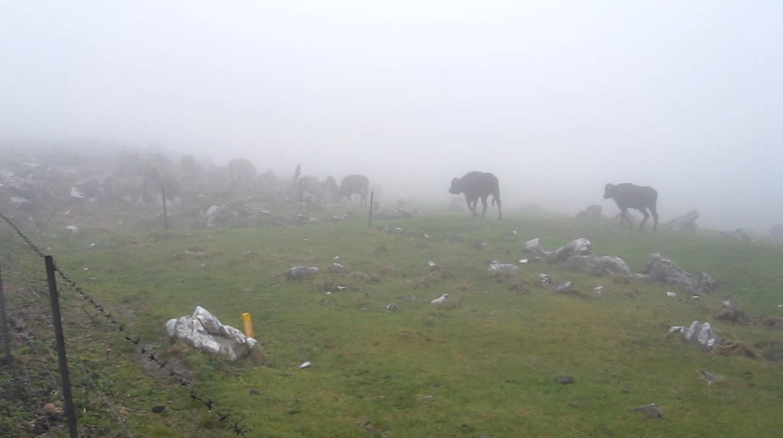 四国カルスト、天狗高原の牛